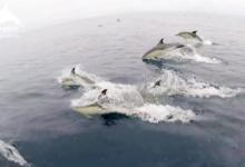Localizados más de 3.000 delfines en las proximidades de las Islas Cíes